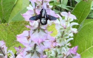 Xylocope, Xylocopa violacea, abeille charpentière, insecte, sauge sclarée, Festival International des Jardins, Chaumont-sur-Loire (41)