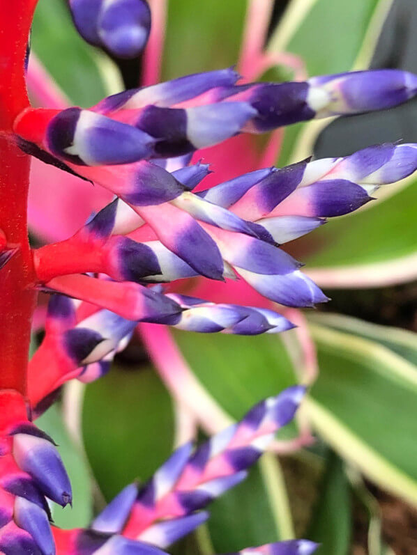 Aechmea 'Del Mar', bractées, Broméliacées, Hampton Court Palace Flower Show, Hampton Court (UK)