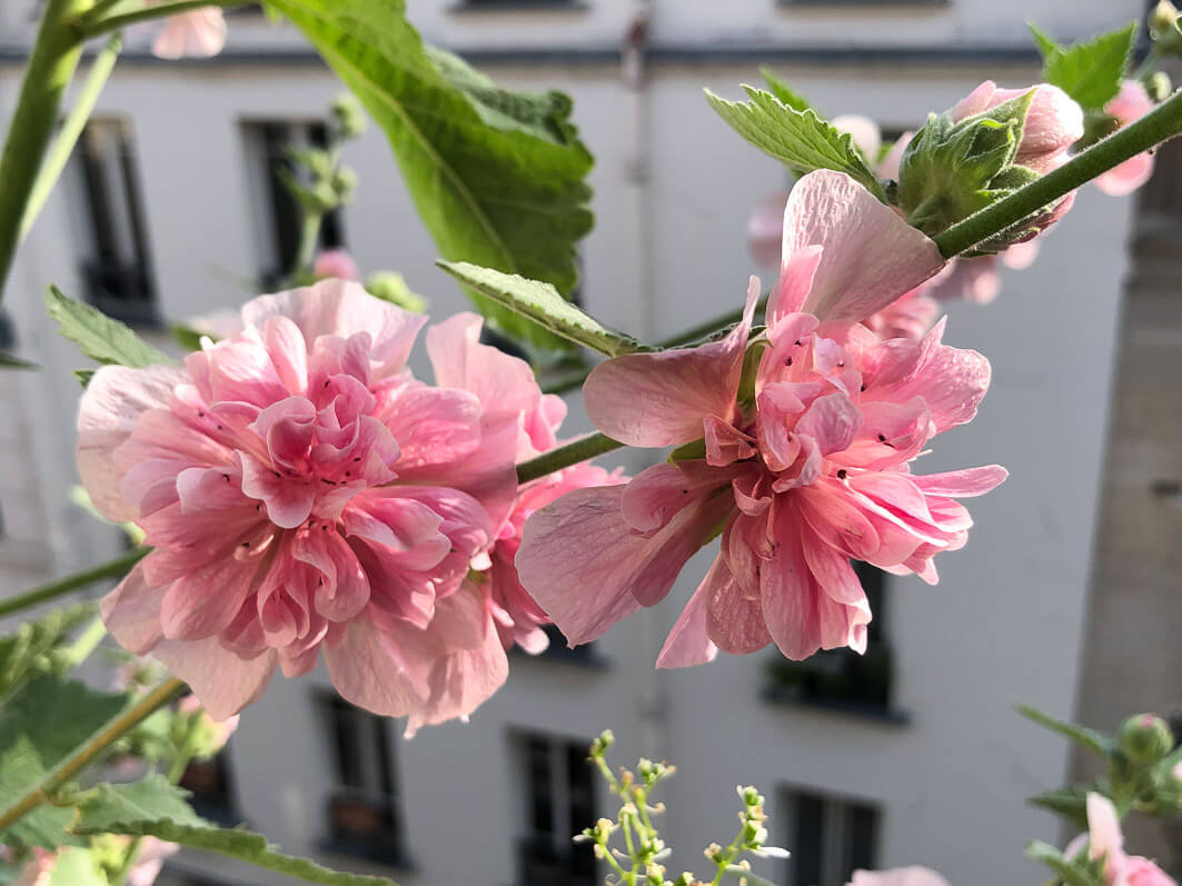 Alcathea x suffrutescens 'Parkfrieden', Malvacées, en été sur mon balcon parisien, Paris 19e (75)