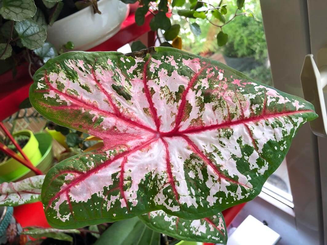 Caladium 'Carolyn Whorton', Araceae, plante d'intérieur, feuillage décoratif, Paris 19e (75)