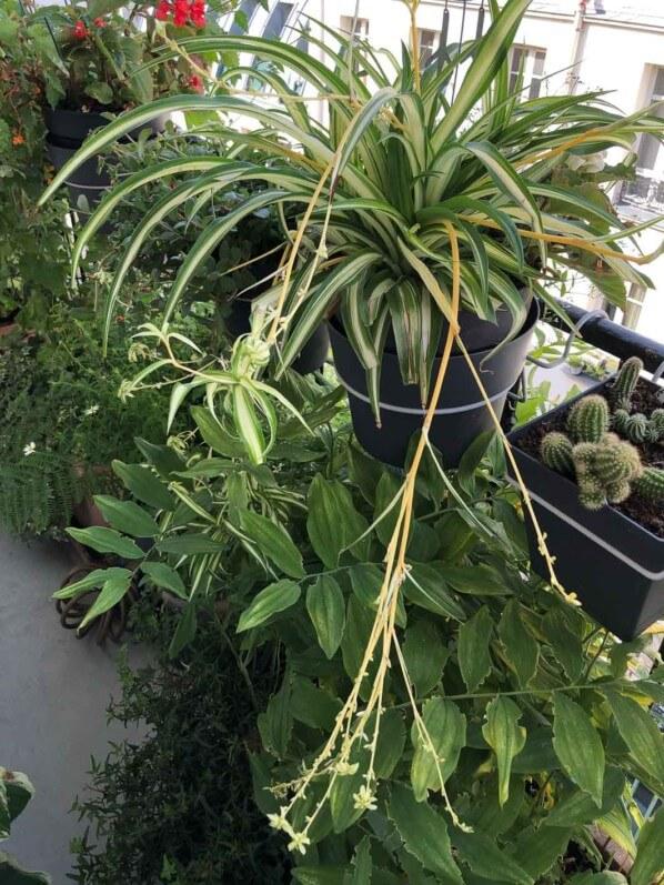 Potée de phalangère (Chlorophytum) en été sur mon balcon parisien, Paris 19e (75)