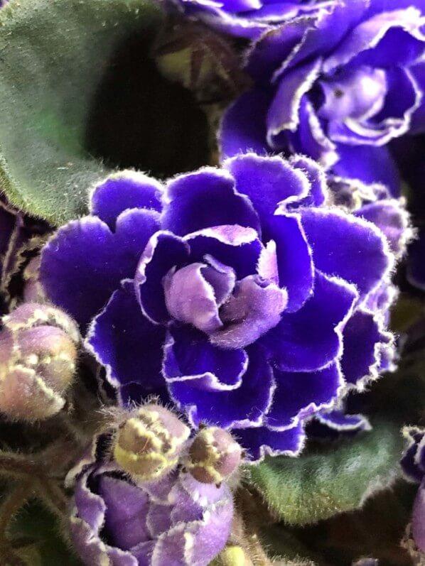Saintpaulia hybride, violette du Cap, Gesnériacées, plante d'intérieur, Paris 19e (75)