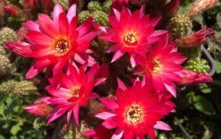 Potée fleurie de Chamaelobivia 'El Gigante', cactus, Cactacées, en été sur mon balcon parisien, Paris 19e (75)