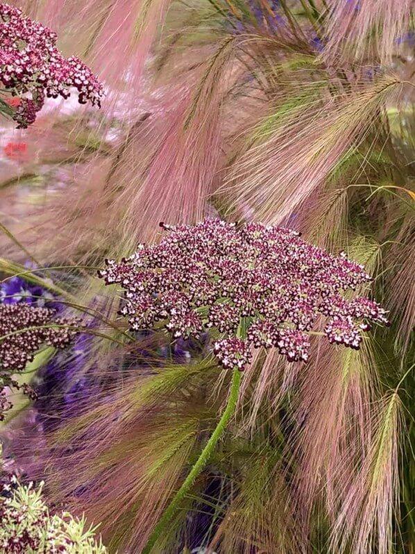 Orge à crinière (Hordeum jubatum) et carotte (Daucus carota), Hampton Court Palace Flower Show, Hampton Court (UK), 2 juillet 2019, photo Alain Delavie