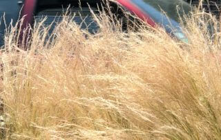 Cheveux d'ange, Stipa tenuifolia, Stipa tenuissima, graminée, plante vivace, Paris 13e (75)