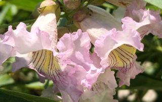 Fleurs de Chitalpa, arbre, Paris 13e (75)