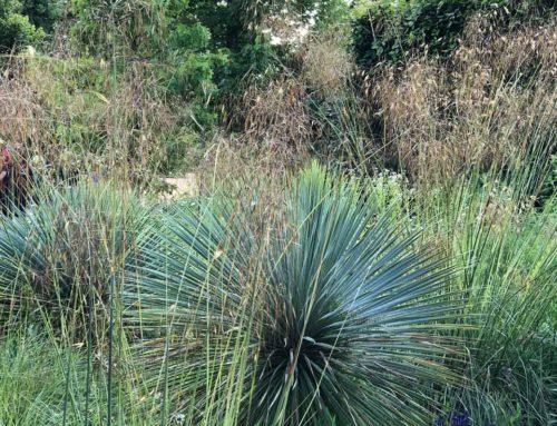 Duo de yucca et de stipe géante pour jardin sec et ensoleillé