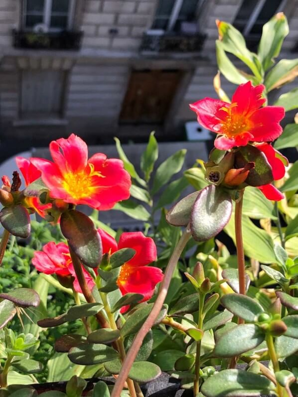 Pourpier, Portulaca grandiflora, potée fleurie en été sur mon balcon parisien, Paris 19e (75)