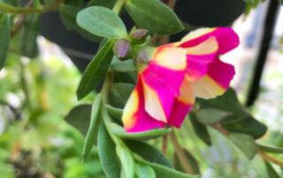 Pourpier à grandes fleurs (Portulaca grandiflora) sur mon balcon parisien, Paris 19e (75)