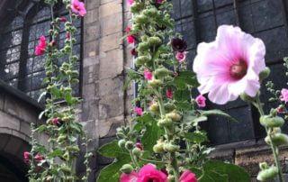 Roses trémières, église Saint-Nicolas des Champs, rue Cunin Gridaine, Paris 3ème (75)