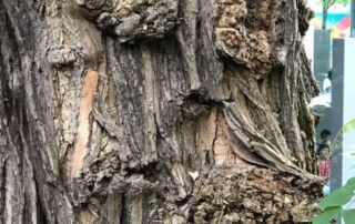 Écorce tourmentée du tronc d'un robinier faux-acacia, Fondation Cartier pour l'art contemporain, Paris 14e (75)