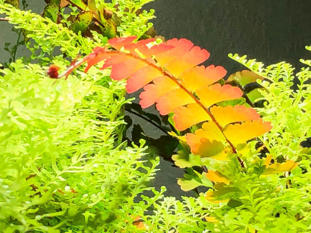 Fronde d'Adiantum caudatum parmi le feuillage du Nephrolepis exaltata 'Suzi Wong', plantes d'intérieur, Paris 19e (75)