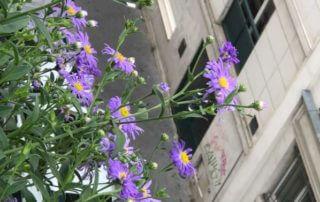 Aster x frikartii 'Mönch', Astéracées, sur mon balcon parisien en été, Paris 19e (75)