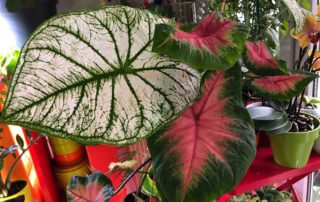 Caladiums 'White Christmas' et 'Frieda Hemple', Araceae, plantes d'intérieur, Paris 19e (75)