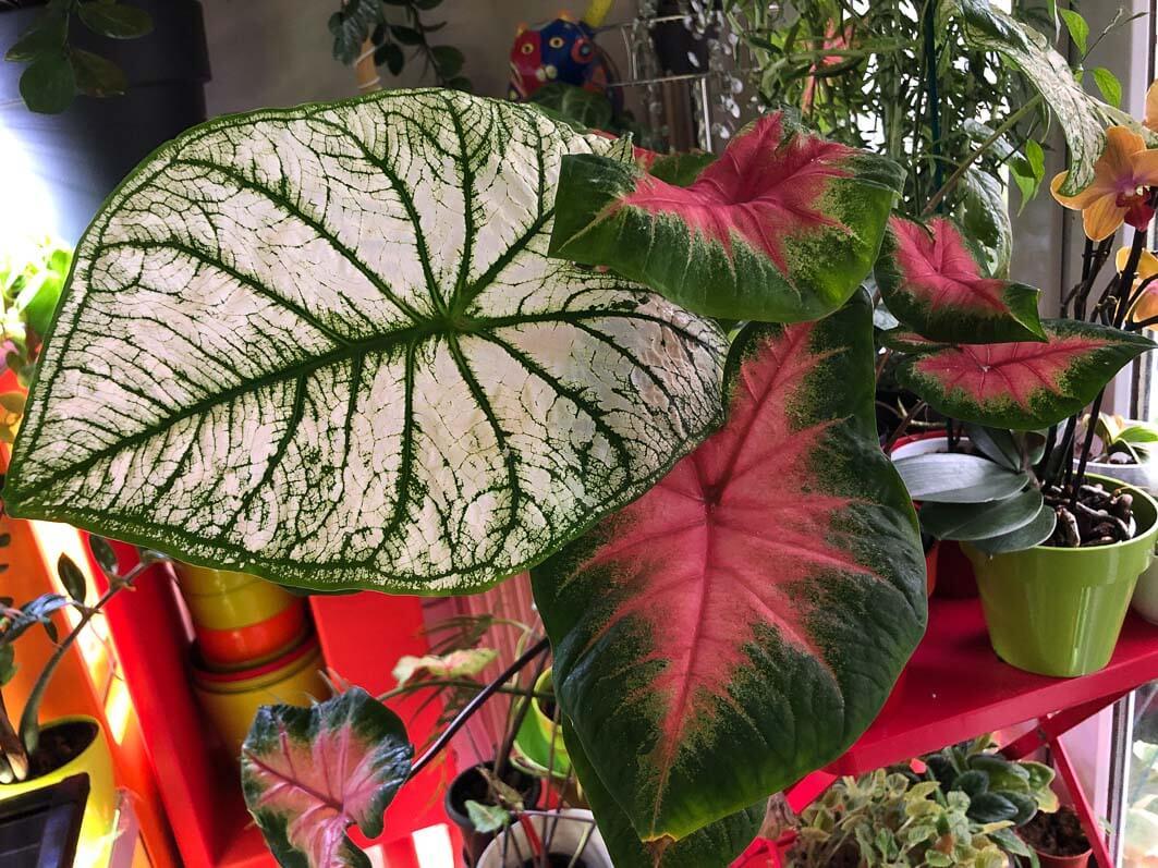 Caladiums 'White Christmas' et 'Frieda Hemple', Araceae, plantes d'intérieur, Paris 19e (75)