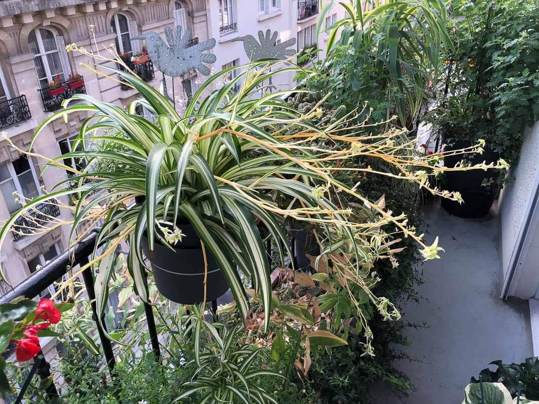 Phalangère en été sur mon balcon parisien, Paris 19e (75)