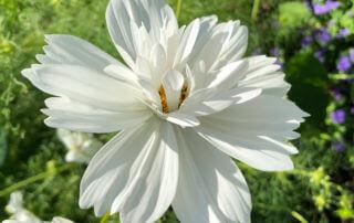 Cosmos bipinnatus 'Fizzy White' en été dans le Jardin des plantes, Paris 5e (75)