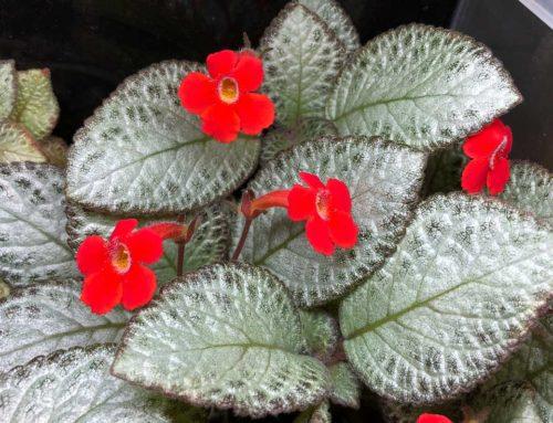 Généreuse floraison de mon Episcia 'Silver Skies' en terrarium