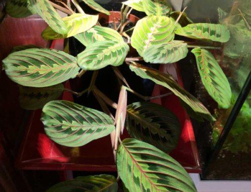 Maranta leuconeura var. erythroneura dans un jardin d'intérieur Tregren 3