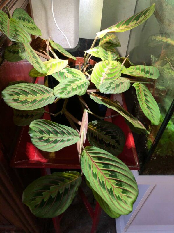 Maranta leuconeura var. erythroneura, jardin d'intérieur Tregren 3, culture indoor, Paris 19e (75)