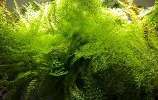 Nephrolepis exaltata 'Suzi Wong', fougère, plante d'intérieur, Paris 19e (75)