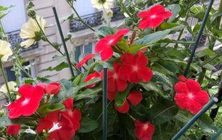 Pervenche de Madagascar, Cataranthus roseus, en été sur mon balcon parisien, Paris 19e (75)