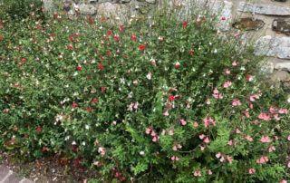 Massif haie basse de sauge arbustive (Salvia microphylla 'Hot Lips') en été dans Giverny (27)