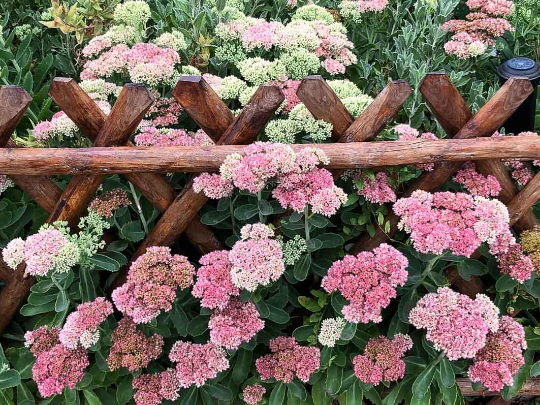 Bordure de grands sedums en été dans Giverny (27)