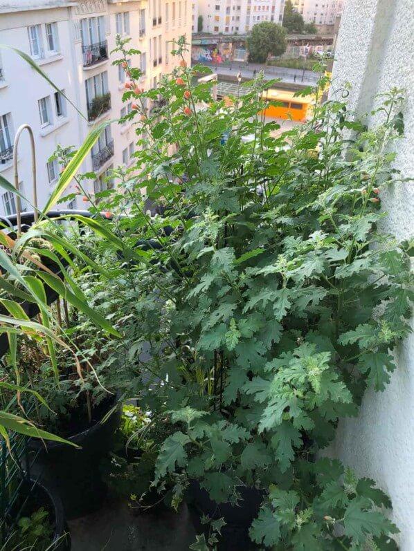Sphaeralcea 'Childerley' en été sur mon balcon parisien, Paris 19e (75)