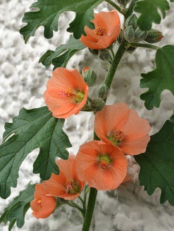 Sphaeralcea 'Childerley' (Malvacées) en été sur mon balcon parisien, Paris 19e (75)