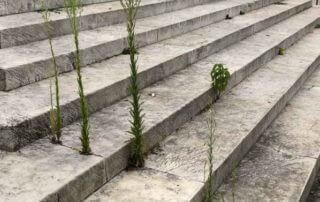 Plante sauvage, adventice, mauvaise herbe poussant entre les marches d'un escalier, Paris (75)
