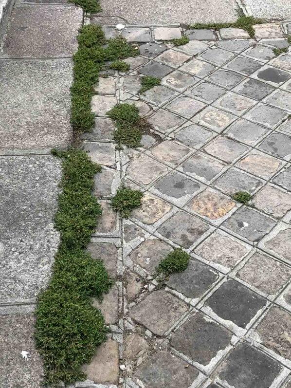 Plante sauvage, adventice, mauvaise herbe poussant entre les pavés, Paris (75)