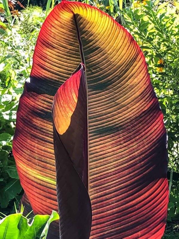 Feuillage d'un bananier rouge en été dans le Jardin des plantes, Paris 5e (75)