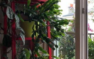 Cactus de Noël, plante d'intérieur, Paris 19e (75)