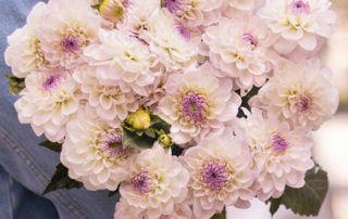 Bouquet de dahlias Batignolles, Bergamotte