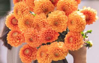 Bouquet de dahlias Belleville, Bergamotte
