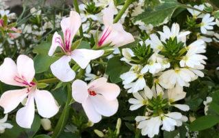 Pelargonium et Scaevola blancs, Annecy (74)
