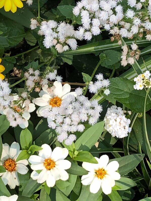 Zinnia et Ageratum blancs, Annecy (74)