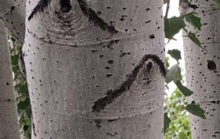 Tronc de tremble, arbre, écorce, Paris (75)