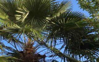 Palmier, Trachycarpus fortunes, Paris 16e (75)