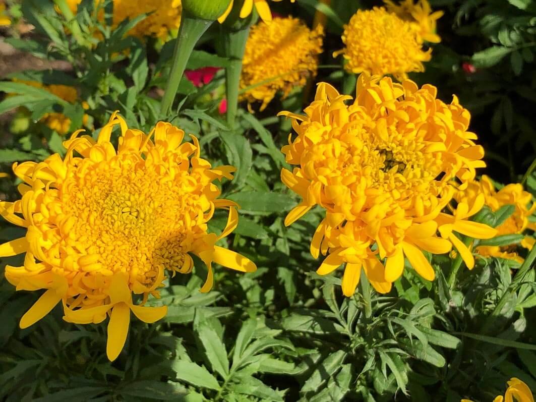 Rose d'Inde 'Saut du lit', Astéracées, fleur annuelle, École du Breuil, Paris 12e (75)