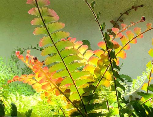 Nouvelles frondes d'Adiantum caudatum d'un beau rouge cuivré