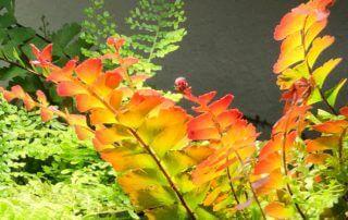 Adiantum caudatum, fougère, plante d'intérieur, Paris 19e (75)