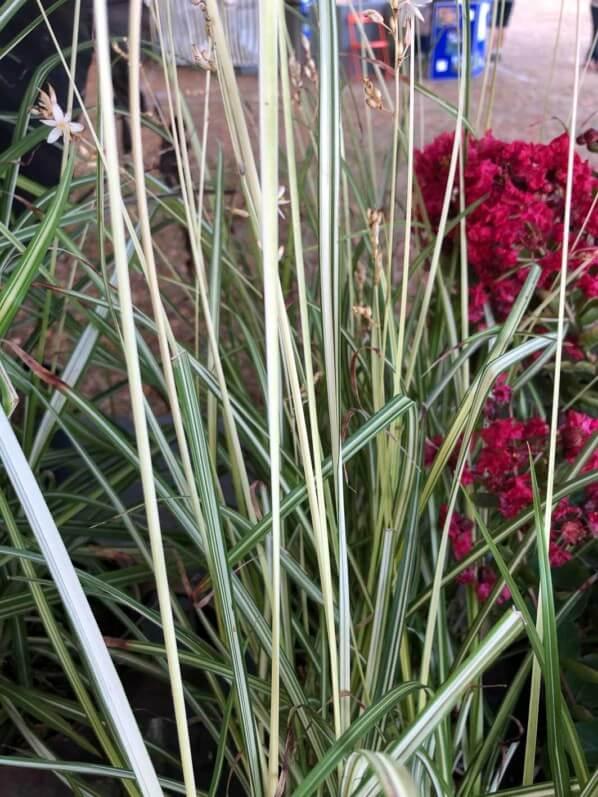 Chlorophytum saundersiae 'Starlight', Leader Plant, La Folie des Plantes, parc du Grand Blottereau, Nantes (49)