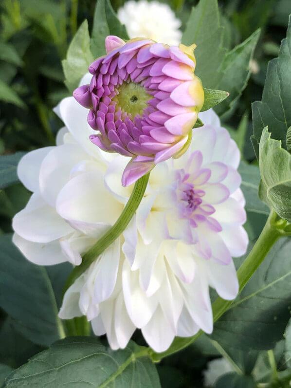 Dahlia 'Perle de Venise', Jardin des plantes, Orléans (45)