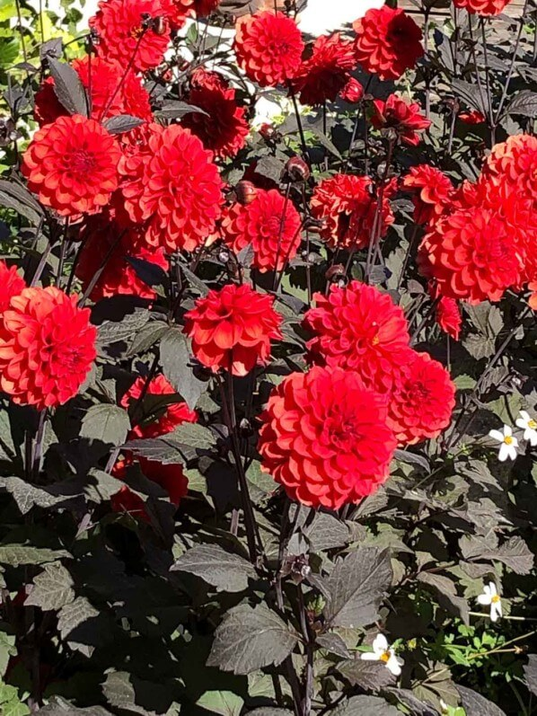 Dahlia 'Septembre à Paris' en fin d'été dans le parc floral de Paris, Paris 12e (75)