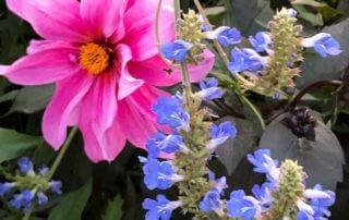 Sauge (Salvia uliginosa) et dahlia en fin d'été dans les jardins de Claude Monet, Fondation Claude Monet, Giverny (27)