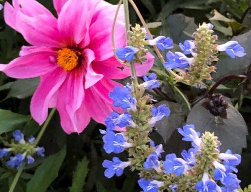 Duos fleuris de fin d'été dans les jardins de Claude Monet