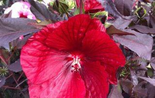 Hibiscus Carrousel 'Géant Red', La Folie des Plantes, parc du Grand Blottereau, Nantes (49)