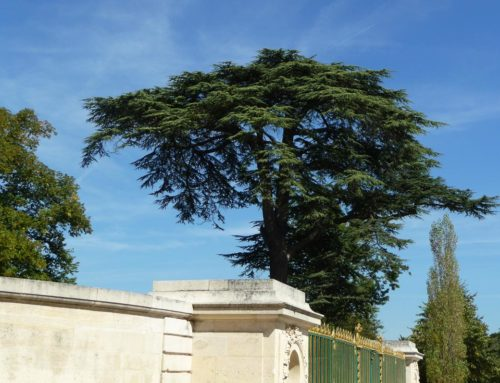 «Arbres admirables», un  nouveau parcours de visite à Versailles